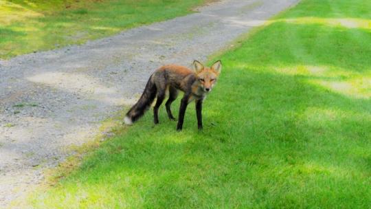 Club-de-golf-Lac-Etchemin-Photos-vidéos-renard